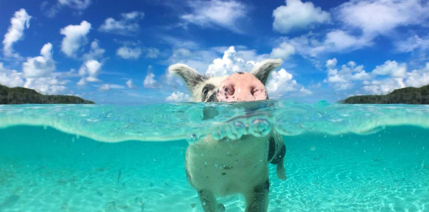 The swimming pigs have become a popular tourist attraction Shutterstock