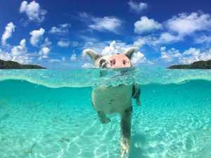 Bahamas swimming pigs die from rum and beer