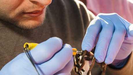 Renan Santana 'milks' a tarantula for its venom. Picture: Queensland Museum