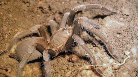Queensland tarantulas are generally found between Rockhampton and Cape York. Picture: Queensland Museum