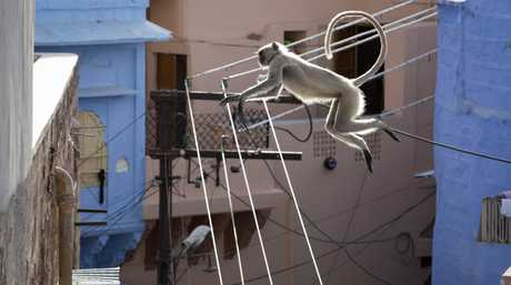 Hanuman langurs have swapped treetops for rooftops in Jodhpur, India in a scene from the documentary TV series Planet Earth II.