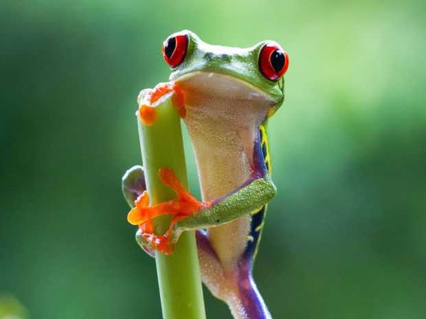 A red-eyed tree frog takes a rest in the jungles of Costa Rica in a scene from the documentary TV series Planet Earth II.