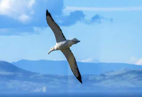 An albatross soars past one of the observation huts at the Royal Albatross Centre on the Otago Peninsula outside Dunedin.