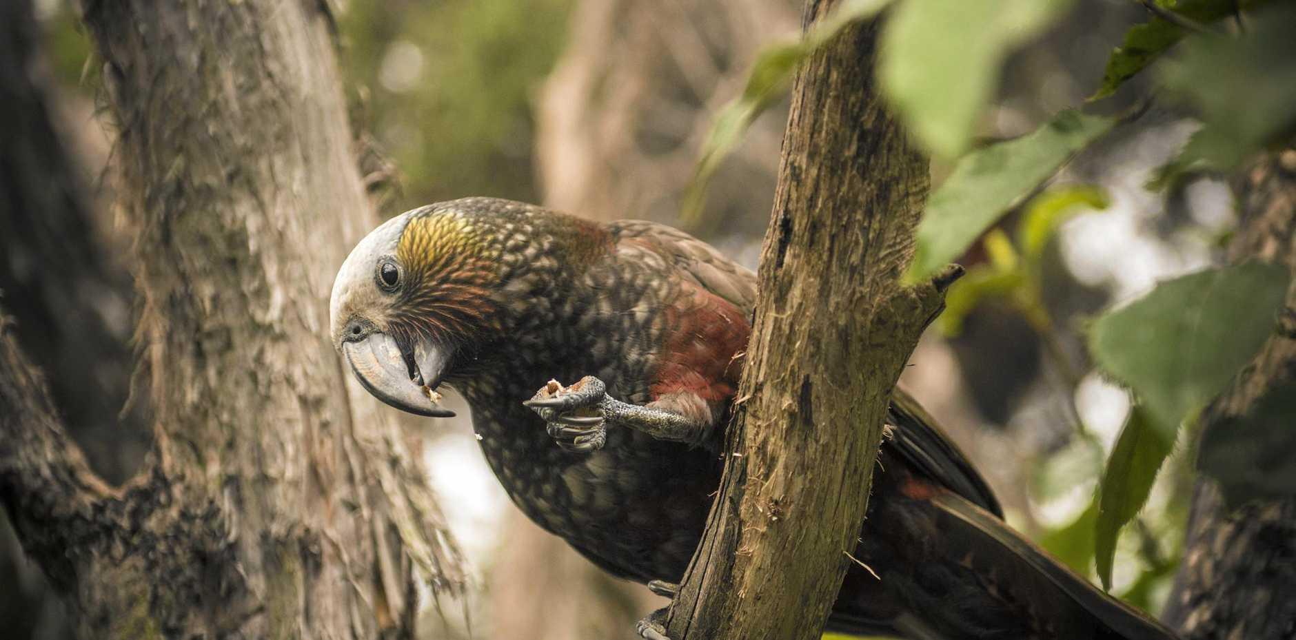 A kaka bird comes in for a feed at the Orokonui Eco Sanctuary near Dunedin.