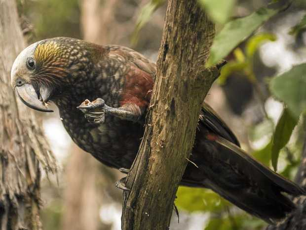 A kaka bird comes in for a feed at the Orokonui Eco Sanctuary near Dunedin.