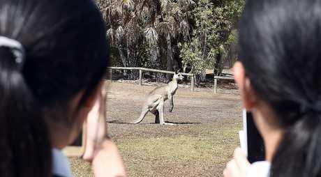 International students take photos of kangaroos at the college.