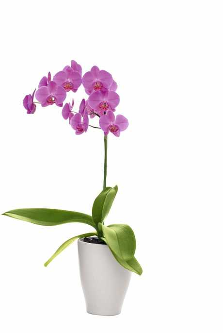 This gorgeous orchid will brighten your home and not send you grey trying to care for it!