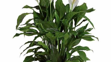 The almost indestructible peace lily.