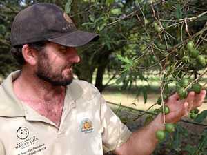 Experts predict record macadamia crop