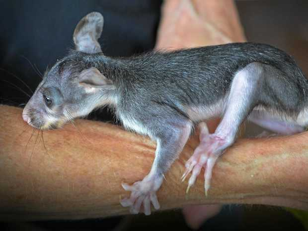 LEAN SEASON: Wild animals like little brushtail possum Trinder have been doing it tough in the long, dry summer.