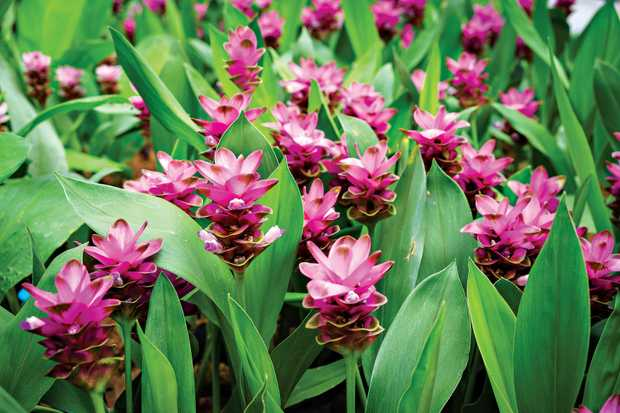 There are more than 1300 species of ginger worldwide, including this curcuma alismatifolia blossom in Thailand.