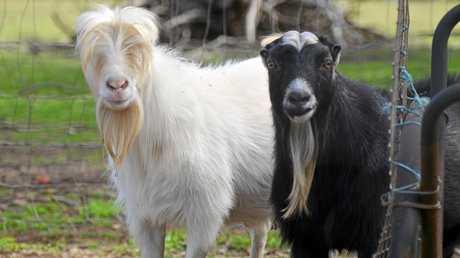 Miniature goats could be shown at the petting zoo.