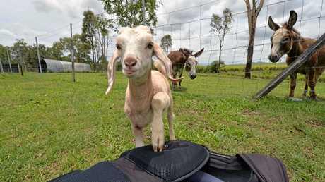 A curious goat.