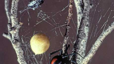 Redback Spider, Latrodectus hasseltii, with egg sac.