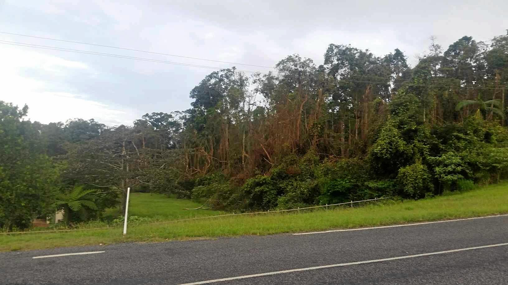 One of two bat colonies close to the Eungella State Primary School that are stripping trees and concerning parents.