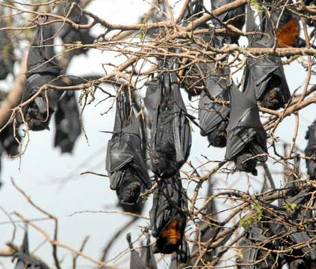 One of two bat colonies close to the Eungella State Primary School that are concerning parents.