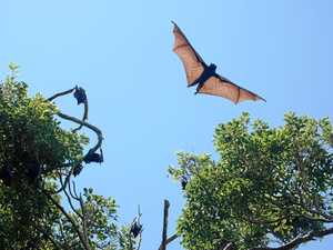 Flying fox angst drops among Noosa residents