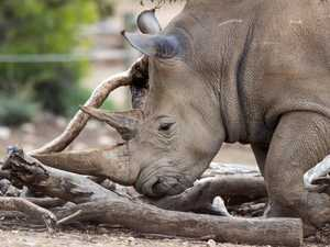 Poachers kill white rhino for horn at European zoo