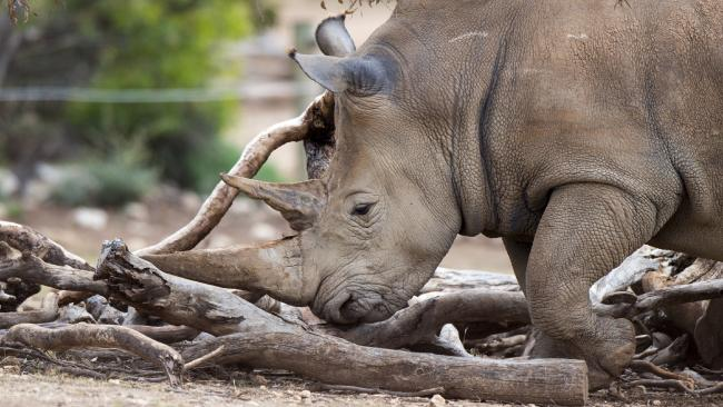The attack on four-year-old Vince (not the rhino pictured) has left many at Thoiry Zoo traumatised. Picture: Adrian Mann, Zoos SA