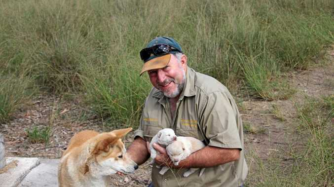DINGO SAVER: Durong Dingo Sanctuary oowner Simon Stretton invites problematic Fraser Island dingoes to live with him instead of being destroyed.