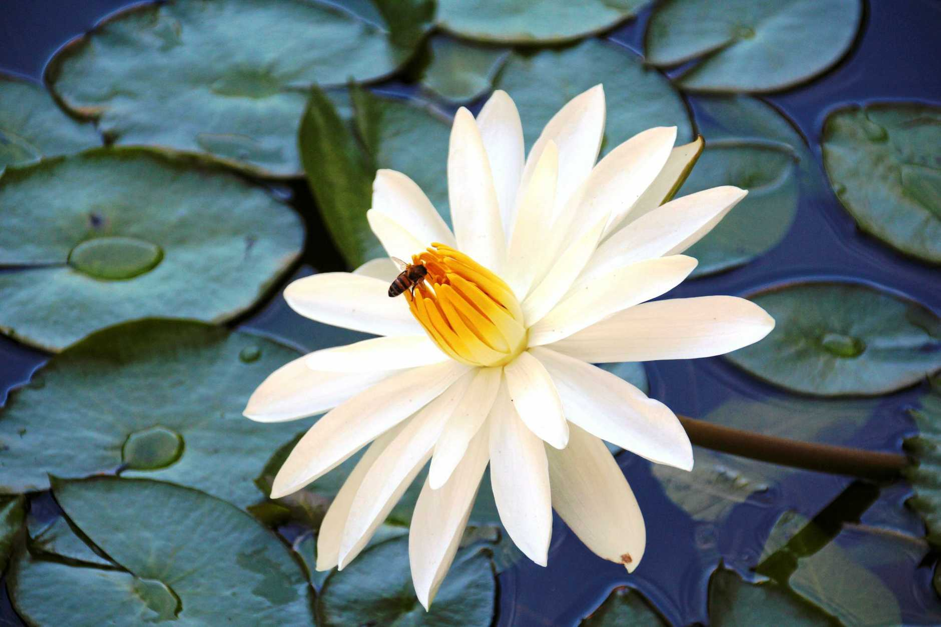 Water lily in the tropical gardens.