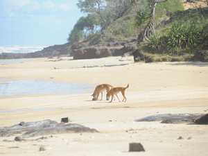Is the gov doing all it can to protect our dingoes?