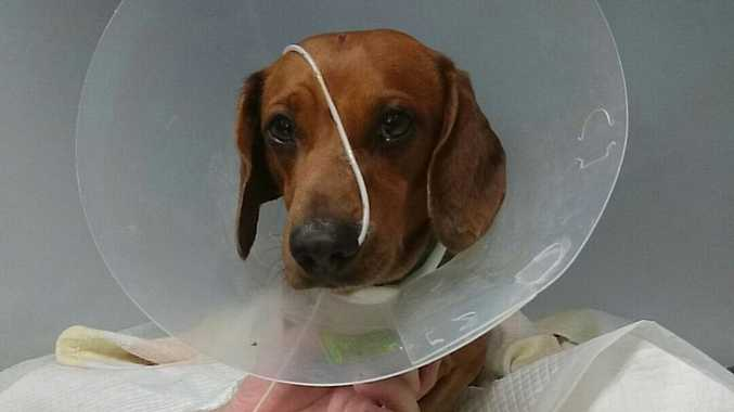 Slinky the dachshund on the mend at UQ Vets in Gatton.