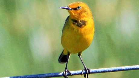 The Capricorn Yellow Chat needs to be saved from extinction. Photo Contributed
