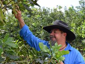 Rising prices could see Mackay region crops go nuts