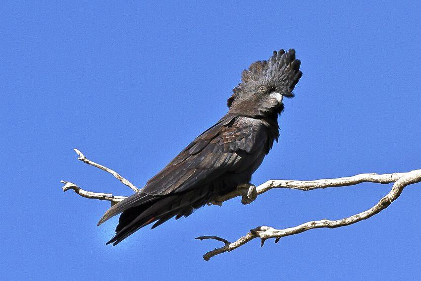 Black cockatoos are said to fly low and squawk when rain is on the way.