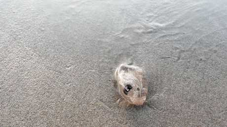 A salp lying in the sand at Coolum Beach.