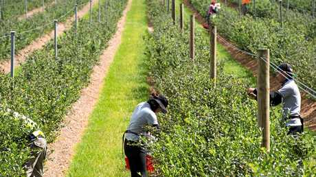 Are international backpackers recommending a blueberry picking funded holiday to others?
