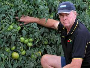 Rain batters tomato crops on Granite Belt