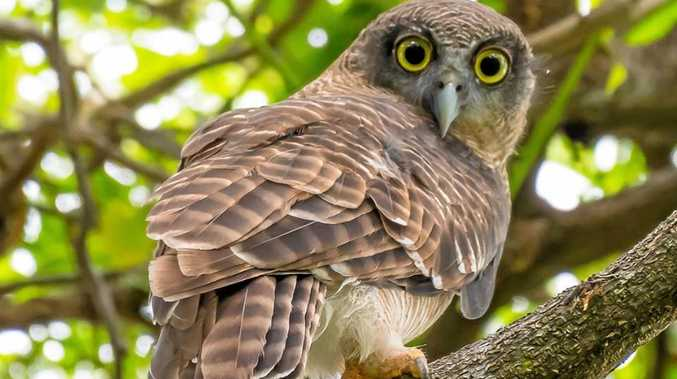 A juvenile Rufous owl spotted in Townsville by Barry Deacon.