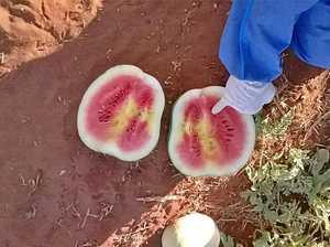 Devastating virus found again in Bundaberg