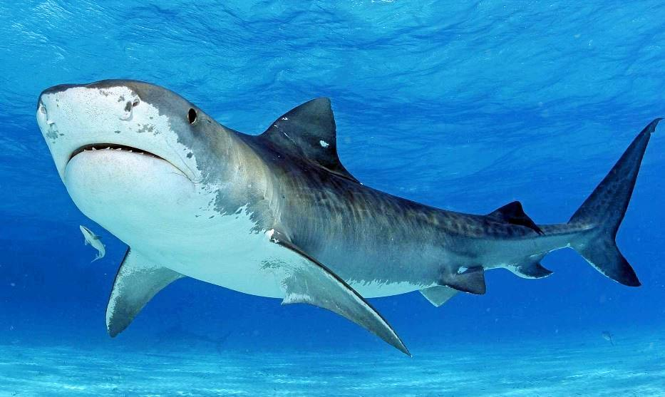 A tiger shark has been spotted near the red and yellow flags.
