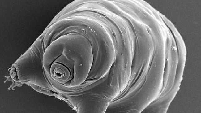 Microscopic tardigrades or 'water bears' are the toughest creatures on the planet. Source:News Limited