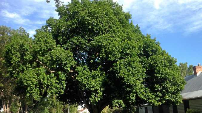 The dense,spreading crown of a mature Tulipwood in Victoria St, Grafton.