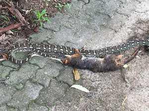 Python eats possum