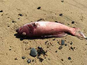 Coral trout found dead