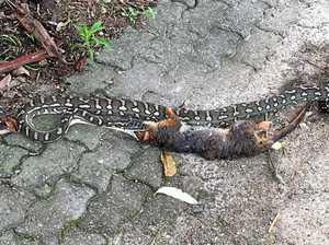 Python eats possum and its baby