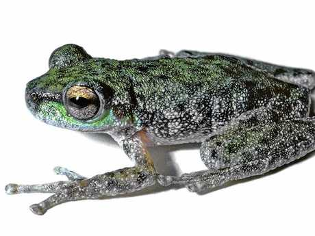 ELUSIVE SPECIES: The peppered tree frog was last confirmed seen in the 1970s.