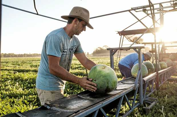 RICH PICKINGS: Anthony Guenette (front) and Tom Brett (back) picking melons in the early morning light at the Bretts' property, Bar-K.