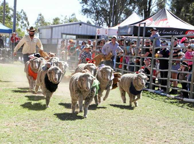 RACING FIT: CSIRO is working on devices to measure sheep activity and fitness, a sort of ovine Fitbit.
