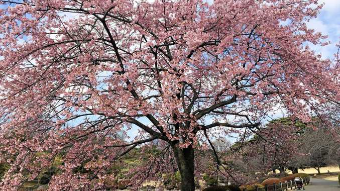 Cherry trees blossom in Tokyo's Shinjuku Gyoen National Park; top right, a hedgehog at Harry Hedgehog Café in Roppongi.