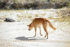 Dingoes on the eastern beach of Fraser Island.  Photo: Alistair Brightman / Fraser Coast Chronicle