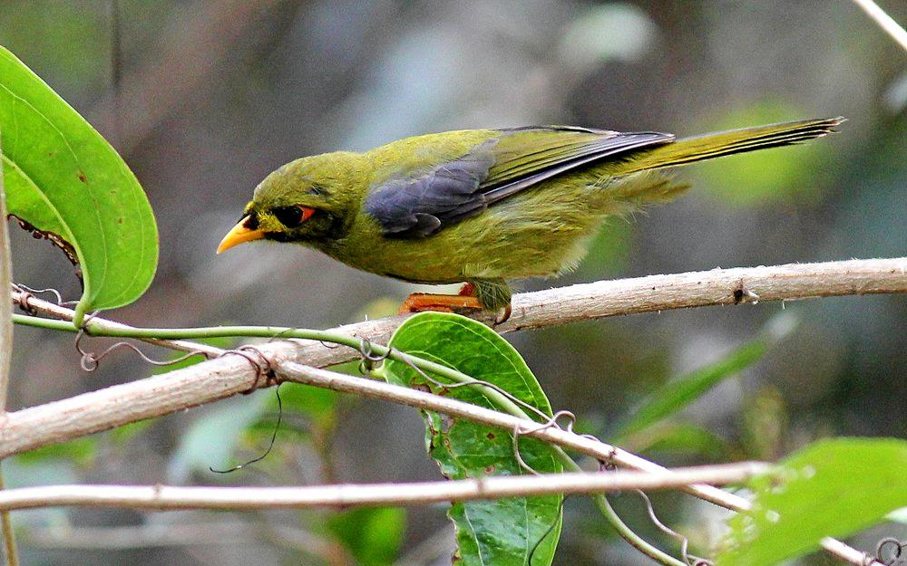ICONIC: The tinkling sound of the bellbird has been immortalised in song by the likes of Gympie's legendary Webb Brothers.