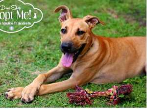 Maple is a bull Arab cross and was born on the 22/9/15. Maple is a playful and kind young girl looking for a forever home. Maple would make a great exercise companion and best friend. Maple is desperately seeking a foster home or her forever home. Please if you are interested contact four paws today. Phone: 0478032910Email: fourpawsaae@hotmail.com