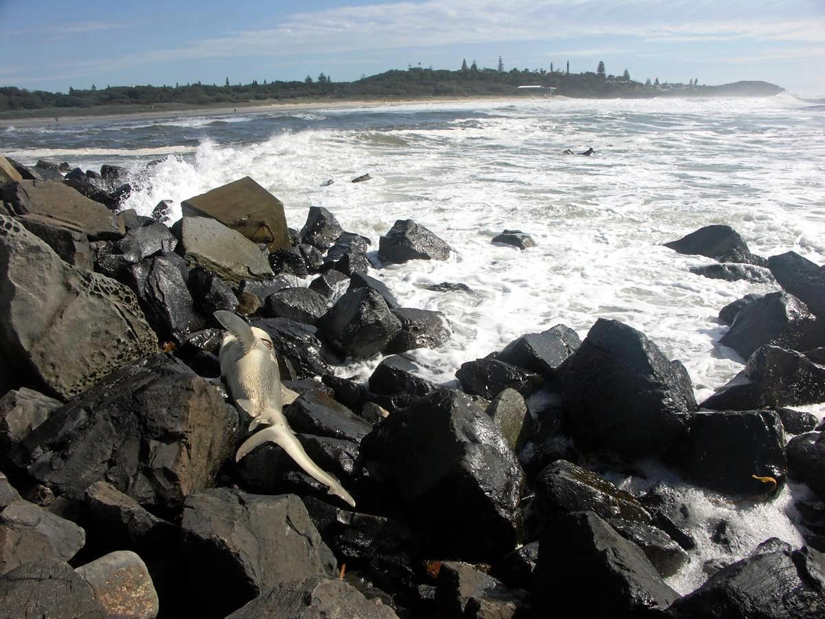 A dead shark washed up on the rocks at North Wall.
