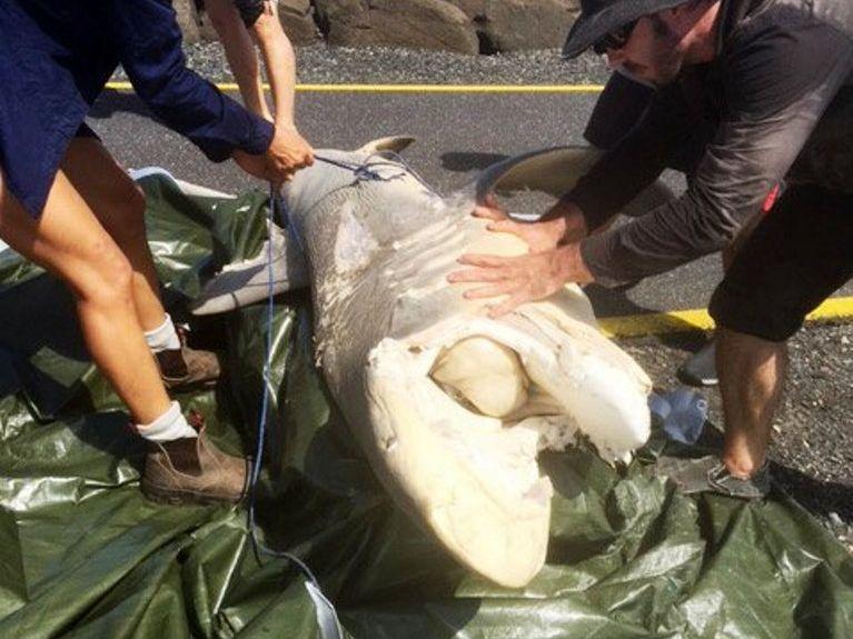 A dead dusky whaler shark hauled up the rocks on North Wall.